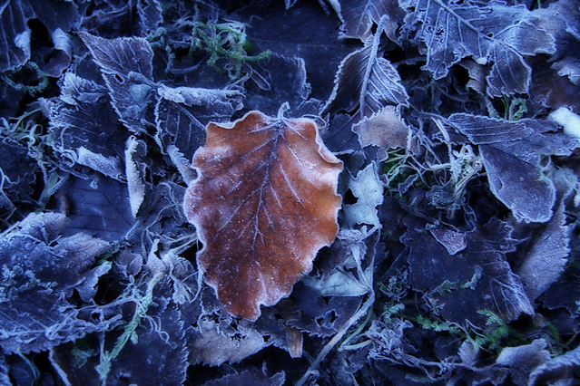 Frosty Leaves by Gerla Brakkee